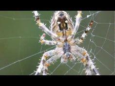 In slow motion zie je hoe een draad uit het achterlijf van een spin komt, en hoe de spin met de poten het web maakt. >> Spider Web Construction in Slow Motion - YouTube