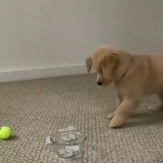 Hunde Welpen Videos lustig - - Hunde Welpen Videos lustig Hunde Videos Cute Puppy Videos – Golden Retriever Puppy playing with Ice Cubes 🎥 Callie. Cute Puppies And Kittens, Baby Puppies, Baby Dogs, Puggle Puppies, Cute Little Puppies, Collie Puppies, Teacup Puppies, Adorable Puppies, Puppys