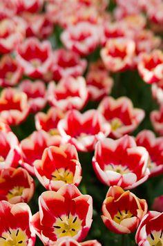Tulip Texture