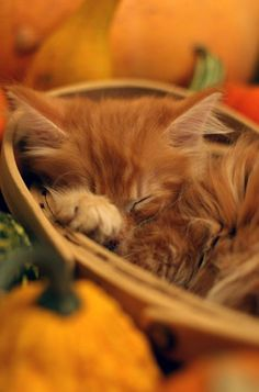 Adorable sleeping kitten in the pumpkin patch! Cute Kittens, Cats And Kittens, Crazy Cat Lady, Crazy Cats, Face Chat, Sleeping Kitten, Photo Chat, Orange Cats, Ginger Cats
