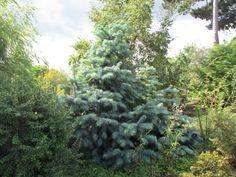 cunninghamia lanceolata / Araucaria de chine