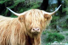 Wee Scottish Cow