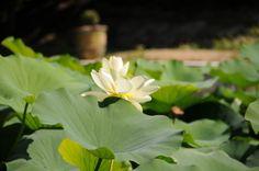 Le lotus du bassin au Mas d'entremont à Aix Lotus, Plants, Plunge Pool, Park, Flowers, Lotus Flower, Plant, Lily, Planting