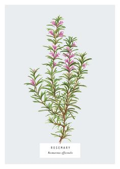 Culinary Herbs by Charlotte Day, via Behance