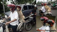 Anjing di Surabaya Ini Duduk Manis Ketika Dibonceng Motor - Handoko Njotokusumo rijdt rond met zijn golden retriever Ace over het eiland Surabaya