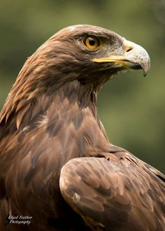 Golden Eagle 2 by EdgedFeather on Devian. - Golden Eagle 2 by EdgedFeather on DeviantArt - Beautiful Birds, Animals Beautiful, Bird Of Prey Tattoo, Eagle Pictures, Eagle Images, Eagle Drawing, Eagle Painting, Eagle Art, World Birds