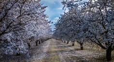 SPRING is here.An almond orchard bursts with blossoms near Fresno, California, on February This picture combines three photos shot at different exposures (known as high-dynamic range imaging). Hotel California, California Love, Beach Pictures, Pretty Pictures, Pretty Pics, Central Valley, Unique Gardens, Spring Blossom, Spring