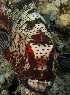 ˚Mr Angry Redeyes Underwater Fish, Underwater Creatures, Ocean Creatures, Beneath The Sea, Under The Sea, Weird Fish, Deep Blue Sea, Water Life, Beautiful Fish
