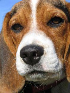 beagle girl Gulla #beagle girl Gullan