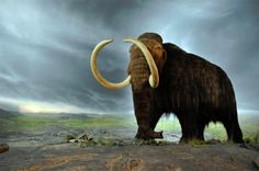 """""""Will we ever bring back the woolly mammoth?"""" -- This post """"is being resurrected as part of 'National Geographic's' special on de-extinction. When it comes to bringing back the mammoth, it turns out that the biggest hurdle is not getting mammoth DNA, but in navigating the complicated reproductive system of living elephants…"""" Shown: Woolly mammoth at Royal BC Museum in Victoria. Credit: Flying Puffin on Flickr"""