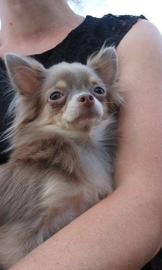 Chihuahua - long hair, cutest, smartest and most loyal breed!  I completely agree!! Simon is UNREAL smart. I wish I had Simon x 5 lol