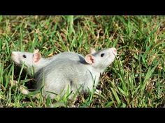 ▶ How to Leash & Harness Train a Pet Rat | Pet Rats - YouTube
