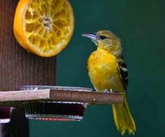 Feeding wild birds. Another type of or Oriole feeder using jelly and oranges.. These are great feeders