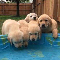 Jax, Stella, Luna, Nala, Duke @the.golden.family.17 ❤