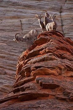 Big Horn Sheep, Zion National Park, Utah; photo by .Danny Seidman
