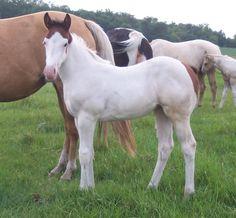 22143bedb Beautiful Medicine Hat foal Cute Baby Horses