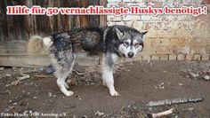 Hilfe für 50 vernachlässigte Huskys benötigt