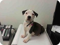 Los Angeles, CA - Pit Bull Terrier. Meet A1623428, a puppy for adoption. http://www.adoptapet.com/pet/15431436-los-angeles-california-pit-bull-terrier
