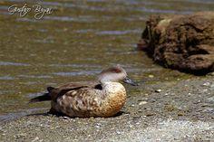 Pato de la Patagonia