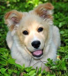 My DARLING husky-golden mix! He's much bigger now, but still has that same smile. Golden Husky Mix, Golden Mix, Beautiful Dogs, Animals Beautiful, Cute Animals, Husky Collie Mix, Gold Retriever, Cute Dogs, Cute Babies