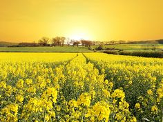 Field of yellow flowers Wallpaper from Nature. Beautiful field of yellow flowers landscape Yellow Flower Wallpaper, Spring Flowers Wallpaper, Summer Wallpaper, Field Wallpaper, Nature Wallpaper, Hd Wallpaper, Wallpaper Pictures, Computer Wallpaper, Wallpaper Downloads
