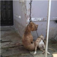 This person left two innocent pet dogs to die after they were hung by a thick chain, right in front of his house. The attacker ...