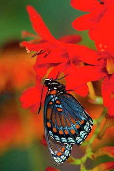 Red-spotted Purple Butterfly, Limenitis Photograph by Darrell Gulin