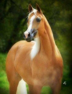 Palomino Arabian