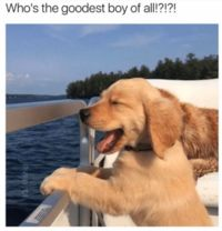Goodest Boy | Know Your Meme    Goodest Boy is an internet slang term used to describe dogs, similar to doggo.    Read more at KnowYourMeme.com.