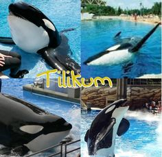this is tilikum. if you love orcas then help make them happy. FREE TILIKUM. please sign go to www.freetillyknow.com. 826,748 signatures needed. PLEASE! HE NEEDS YOU! YOU CAN MAKE A CHANGE!!!!