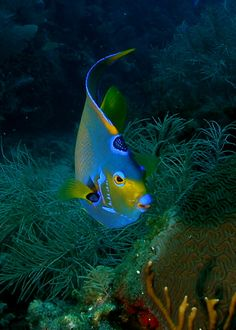 "Queen Angel Fish ~ Miks' Pics ""Sea Life lll"" board @ http://www.pinterest.com/msmgish/sea-life-lll/"