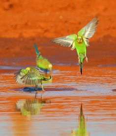Wild budgerigars take a drink in their native Australia.