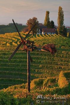 Vineyard near Jeruzalem, Slovenia.