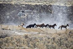 18 Wild Horses Die, 1,430 Lose Their Freedom in Nevada Roundup | American Wild Horse Preservation Campaign