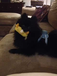 A backpack harness by Petlife is good for small dogs like Pomeranians-- it doesn't tug on their delicate necks. Plus, you can keep stuff in the little pouch on the harness. The little yellow duck is a Kong toy that has been a hit with both my family's Poms since they were puppies.