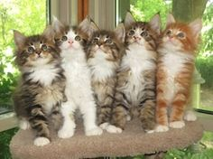 Maine Coon Kittens - www.mainedelitecattery.com