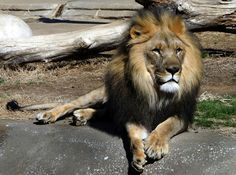 This beautiful lion is making an afternoon of people watching at the Tulsa Zoo in Oklahoma.