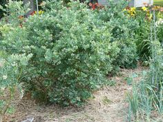 Blueberry Bushes - Growing Blueberries - Tending My Garden Pruning Blueberry Bushes, Growing Blueberries, Grow Organic, Farm Gardens, Landscaping Plants, Organic Gardening, Planting Flowers, Landscape, Shrubs