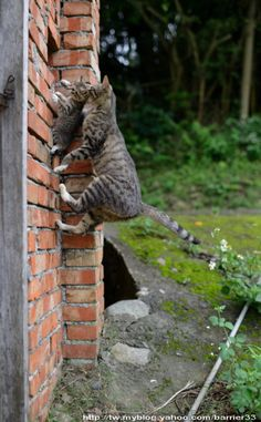 climbing a brick wall with her kitten