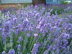 Lavandula augustifolia 'Melissa Lilac'  Stunning, large, violet-coloured, fragrant flower spikes appear in summer  above slender, aromatic, silvery-grey leaves. This is a lovely lavender for edging paths and borders; the aromatic foliage perfumes the air if you brush against it. It also works well in a gravel garden, or clipped into a formal sphere for a contemporary look. The flower-spikes are highly attractive to bees and other beneficial insects.