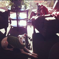 Whippets! Olive (foreground, in sweater) and her boyfriend Simba (on chair, wrapped in blanket) Anyone who knows whippets, knows how familiar this scene is!  They love their blankies...