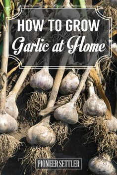 How to Grow Garlic at Home | Easy Gardening Tips And Ideas | Homesteading by Pioneer Settler at http://pioneersettler.com/grow-garlic-home/