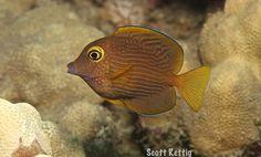 Kole Tang | Ctenochaetus strigosus (by Scott Rettig)