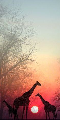 Giraffes in the sunset • photo: NINA Bradica