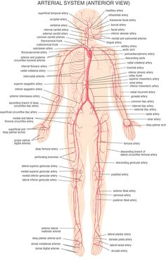 www.kenfuderyu.co.za images gym Body%20Systems Arterial_System.jpg