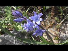 Escila: Scilla bifolia (www.riomoros.com)
