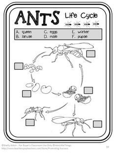 Ants Life Cycle Science Activities and Worksheets: In this fun science and literacy packet, you will receive nonfiction reading passages, comprehension pages, graphic organizers, worksheets, life cycle diagram, body parts diagram, accordion book, task cards, scavenger hunt game, more game ideas, writing papers, story starters, mazes, word find, crossword and a quiz.