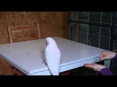 Cockatoo Muppet deals with nuts