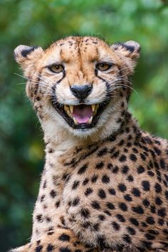 (via 500px / What does the Cheetah say? by Johannes Wapelhorst)
