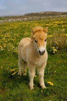 Shetland Pony, Shetland Isles, Scotland